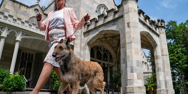A Belgian laekenois is presented for journalists during a news conference at the Lyndhurst Estate where the 145th Annual Westminster Kennel Club Dog Show will be held outdoors. (AP Photo/John Minchillo)