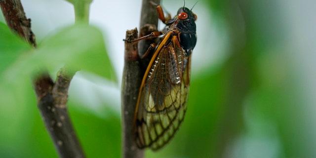 An adult cicada is seen, in Washington, Thursday, May 6, 2021. Credit: AP Photo/Carolyn Kaster