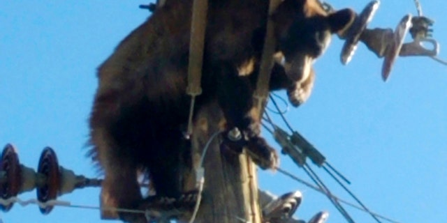 This photo provided by Werner Neubauer shows a bear tangled in power pole wires in Willcox, Arizona, Lunedi, giugno 7, 2021. (Courtesy of Werner Neubauer via AP)