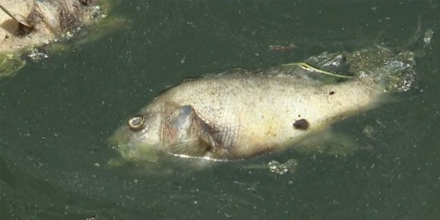 Thousands of carp and sunfish are floating dead in Kansas City's Brush Creek.