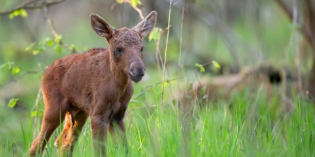 A man in Alaska recently lifted a moose calf (not pictured) over a guardrail that was too tall for the calf to cross itself. (iStock)