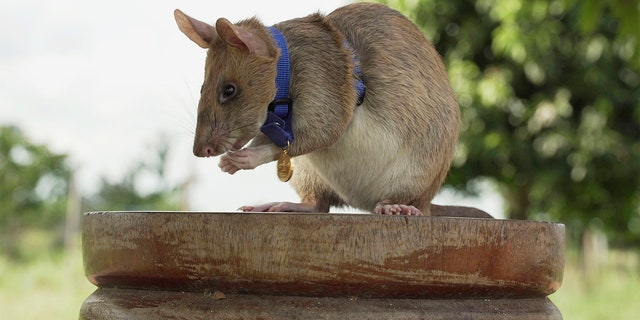This undated archive photo from the People's Dispensary for Sick Animals (PDSA) shows Cambodian discovery rat, Magawa, wearing her PDSA Gold Medal, the animal equivalent of George Cross, in Siem, Cambodia.
