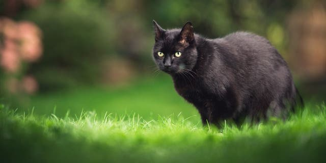 A cat named Esme (not pictured) has been taking random items from neighbors' homes in Beaverton, Oregon, according to her owner Kate Felmet. (iStock)