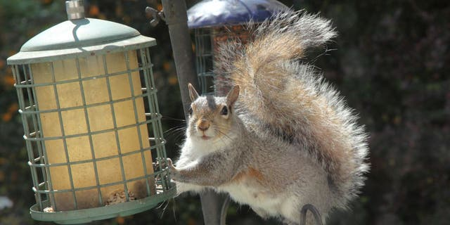 A grandmother in the U.K. says she has stopped a gray squirrel (not pictured) from stealing food out of her bird feeder with Vaseline, according to South West News Service. (iStock)
