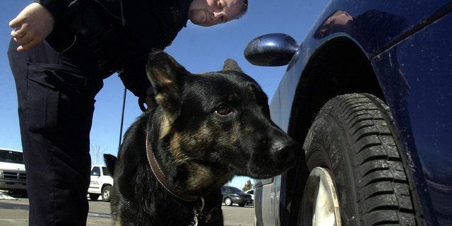 布鲁姆菲尔德, 科罗拉多州, 在这张未注明日期的照片中,警官展示了他和他的 K-9 搭档 Nik 如何在市政中心停车场的车外搜索可能的毒品.
