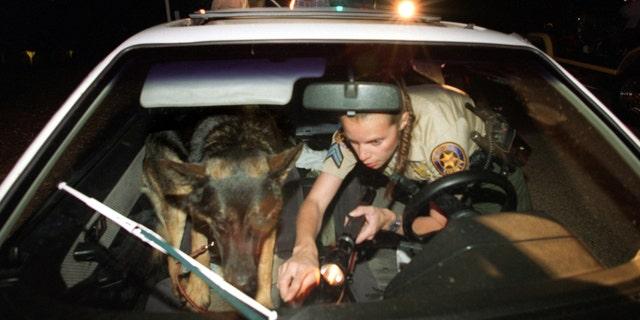 一名高级副警长和 K9 '闪电战', 在这张未注明日期的照片中,在 Santa Susana 公园检查汽车中是否有隐藏的毒品. (斯宾塞韦纳/洛杉矶时报通过盖蒂图片社拍摄)