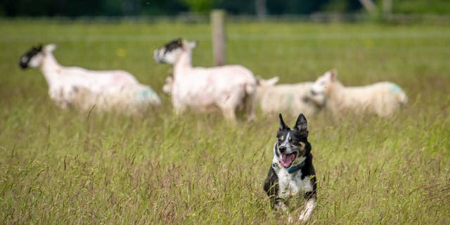 Peggy, a deaf border collie, is said to have learned how to keep sheep with non-verbal cues in Norwich, England.  The older dog learned these skills after losing her hearing as an adult.  (Credit: SWNS)
