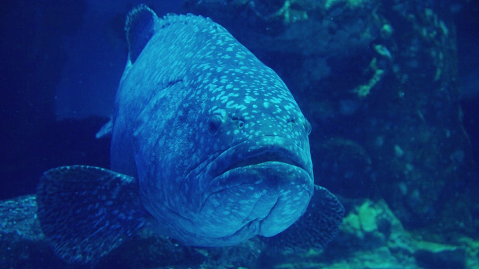 South Carolina fisherman reels in massive Goliath Grouper