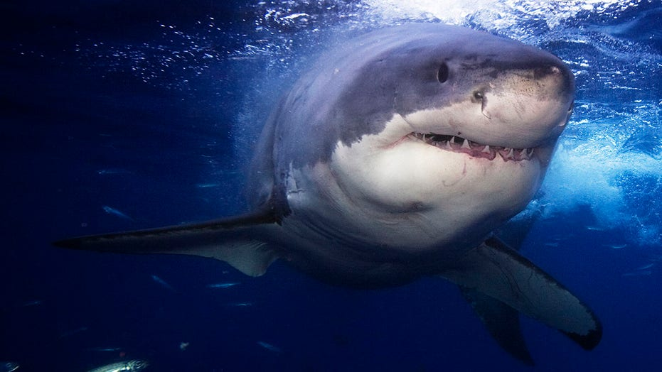 Several large great white sharks are being tracked near NY/NJ beaches
