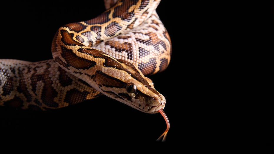 8-foot-snake mistaken for garden hose by Long Island homeowner