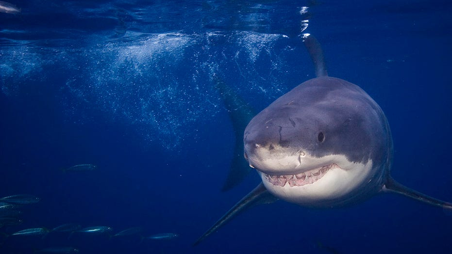 883-pound shark spotted near several tourist attractions along East Coast