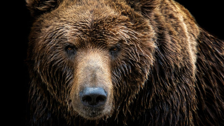 Woman pushes brown bear as it climbs over fence to save her dogs