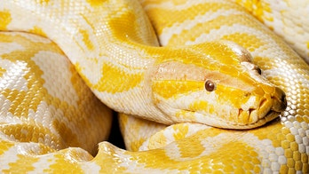 Missing Burmese python that escaped Louisiana mall is found