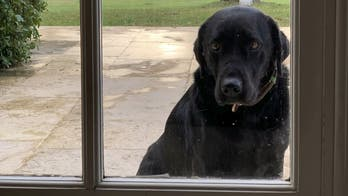 Ring video shows dog trying to find his owner in the 2-way talk doorbell