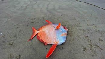 Large, 100-pound tropical fish washes up on Oregon beach