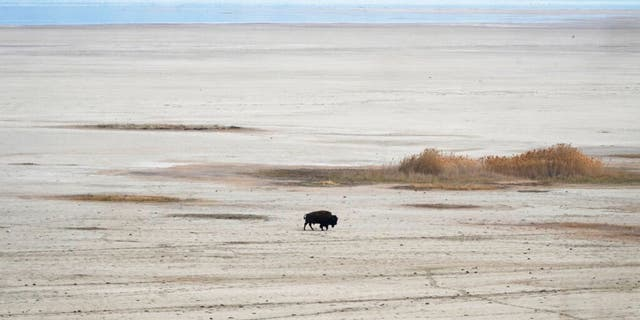 A lone bison walks along the receding edge of the Great Salt Lake on his way to a watering hole on April 30, 2021, at Antelope Island, Utah. The lake's levels are largely expected to hit a 170-year low this year. It comes as the drought has the U.S. West bracing for a brutal wildfire season.