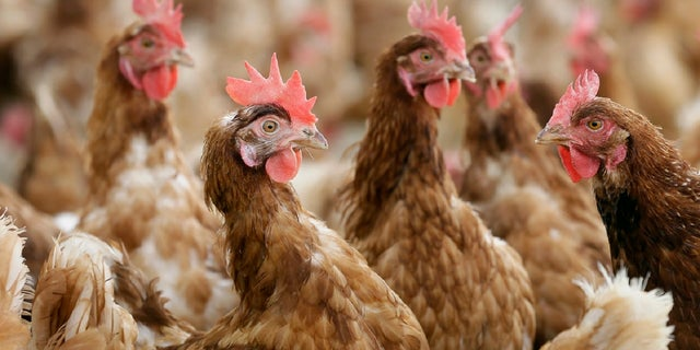 In this Oct. 21, 2015, file photo, cage-free chickens stand in a fenced pasture on the Francis Blake organic farm near Waukon, Iowa. (AP)