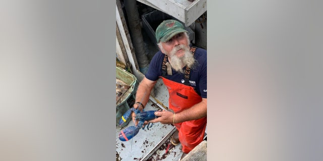 Lobsterman Toby Burnham from Gloucester, Massachusetts, recently found a rare blue lobster in his traps.