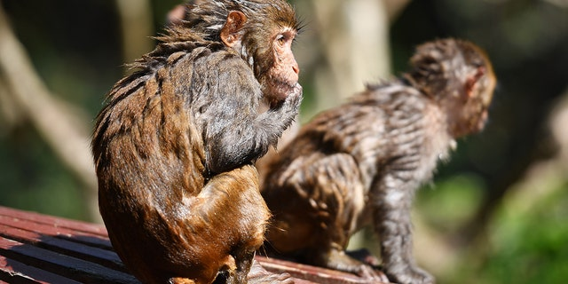 LINGSHUI, April 4, 2021 -- Macaques rest at Nanwan Monkey Islet in Lingshui County, south China's Hainan Province, April 4, 2021. (Photo by Guo Cheng/Xinhua via Getty) (Xinhua/Guo Cheng via Getty Images)