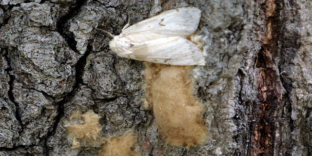 A female Lymantria dispar moth lays her eggs on the trunk of a tree in the Salmon River State Forest in Hebron, Conn. (AP)