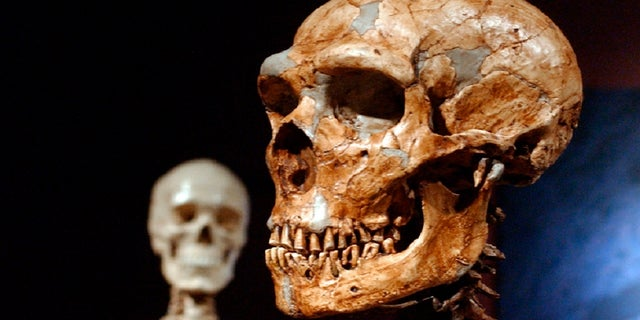 A reconstructed Neanderthal skeleton, right, and a modern human skeleton on display at the Museum of Natural History in New York. (AP Photo/Frank Franklin II)