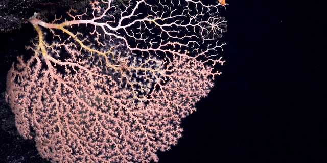This deep-sea star, Evopolsoma, has been spotted eating living coral at a depth of 2004 meters near the Phoenix Islands archipelago.