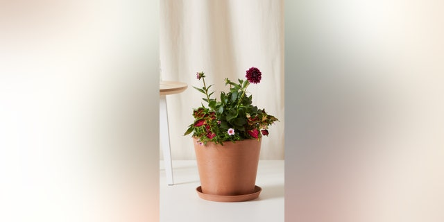 Choose from yellow begonias, red begonias, and red geraniums; each kit comes with a pot (choice of biodegradable paper pot or a Bloomscape ecopot planters) premium soil, time-release and all-purpose fertilizer, and detailed care instructions.