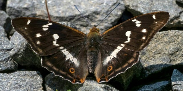 Depending on the angle, others may view the Purple Emperor as having brown wings.