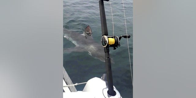 Shark circles Ken Pike's boat 2