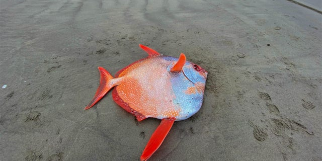 Opahs are tropical fish and are rarely spotted as far north as Oregon's shores.