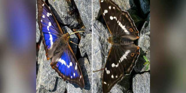 A rare butterfly is sparking a debate over the color of its wings on the internet. (SWNS)