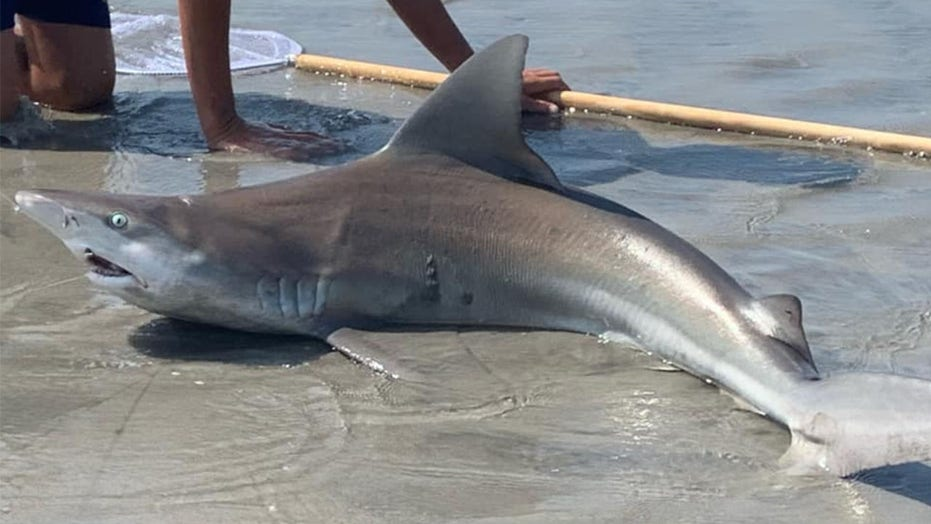 12-year-old reels in shark on Jersey beach as crowd watches in awe