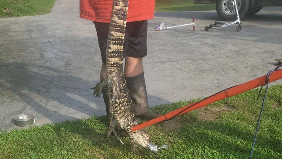 Escaped pet alligator shocks Missouri man: 'There are no gators in Missouri'
