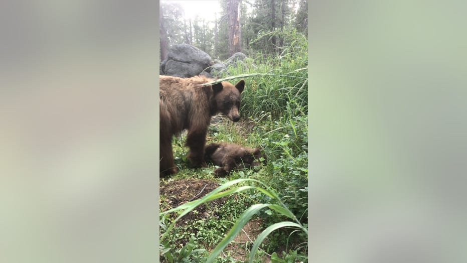 Bear cub killed by driver prompts heartbreaking warning from Yosemite Park ranger