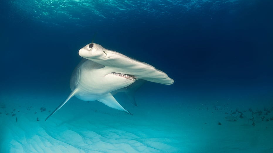 Hammerhead charges towards swimmer while beachgoers scream in terror in viral video