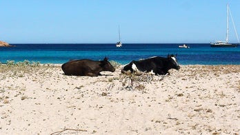 Cow attacks prompt beach closures at popular tourist destination
