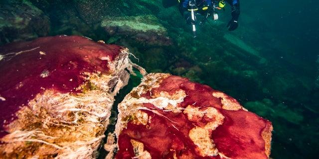 در این عکس که توسط National Maritime Sanctuary NOAA Thunder Bay ارائه شده است ، یک غواص میکروب های بنفش ، سفید و سبز را که سنگ ها را در سوراخ دریاچه هورون در جزیره میانی می پوشاند مشاهده می کند.  آیا احساس می کنید روزها طولانی تر می شوند؟  اینها هستند و این یک چیز خوب است ، زیرا اگر آنها نبودند ، مطابق توضیح جدیدی که در مورد چگونگی شکل گیری اتمسفر غنی از اکسیژن زمین به دلیل چرخش آهسته زمین ایجاد شده بود ، اگر آنها نبودند ، نمی توانستیم نفس بکشیم.  دانشمندان با آزمایش آزمایشگاهی باکتری بنفش بوی غاز از یک حفره عمیق در دریاچه هورون ، شواهدی برای این فرضیه جدید ارائه کرده اند.  (Phil Hartmeier / NOAA Thunder Bay National Marine Sanctuary via AP)
