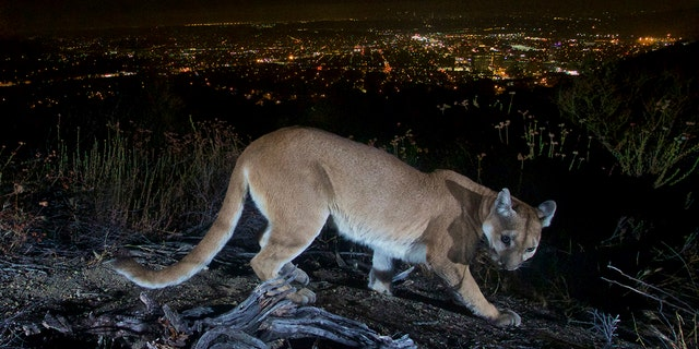 This July 10, 2016, photo shows an uncollared adult female mountain lion photographed with a motion sensor camera in the Verdugos Mountains in in Los Angeles County, California. (Associated Press)