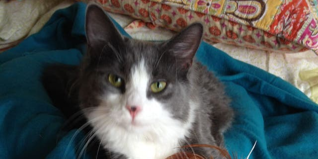 Mini Max, 7, was returned to Margaret Kudzma. The cat went missing after he crawled through a loose window screen in 2015 from his home in Peabody, Mass.