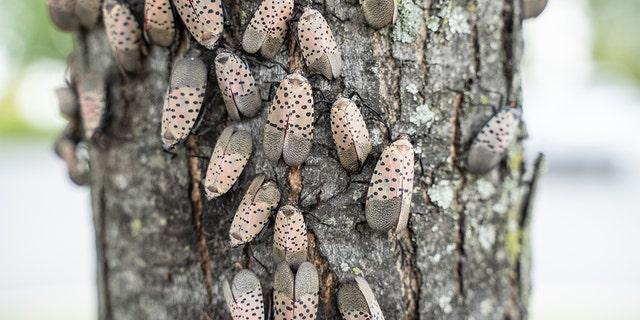عفونت فانوس خالدار (lycorma delicatula) باعث شده است که وزارت کشاورزی پنسیلوانیا یک حشره مهاجم قرنطینه ای صادر کند.