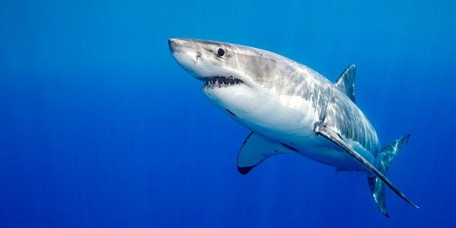 A great white shark swims underwater