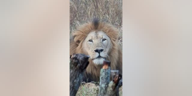 The male lion that walked onto the Bhejane Nature Training camp was actively pursuing a lioness for mating, ChristaPanos told Fox News. Panos runs the Bhejane Nature Training camp alongside her husband, Dylan.