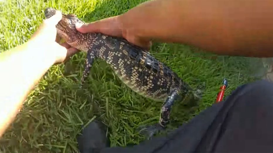 Texas police joke about arresting alligator for 'swimming naked' in pool