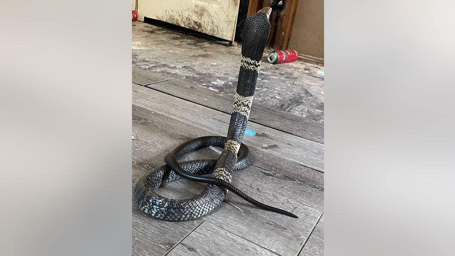 Highly venomous cobra snake missing in Texas town, police warn