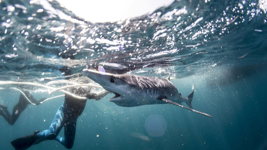 Snorkler swims with shark for over an hour before dolphins scare it off