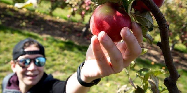 Hidden Acres Orchard has 23 different apple varieties.