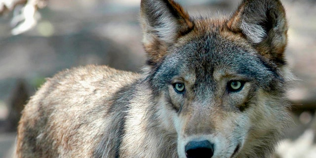 FILE - This July 16, 2004, file photo, shows a gray wolf at the Wildlife Science Center in Forest Lake, Minn.