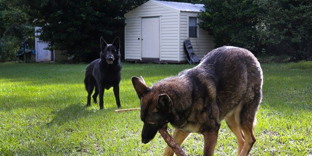German Shepherds Ellie, right, and Willy play in the backyard of owner Lothar Weimann on Sept. 16, 2021, in Gainesville, Fla. When 68-year-old Weimann suffered a stroke at home in May, Ellie got through three gates and barked furiously to alert a neighbor. (Melissa Hernandez de la Cruz/Fresh Take Florida via AP)