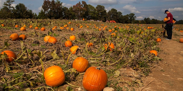Ashland Berry Farm is a working farm. In the fall, a free hayride takes you away into the country for fields of pumpkins.