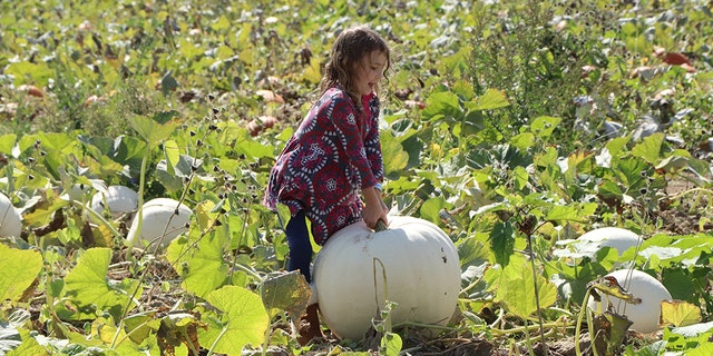 At Exploration Acres, on top of picking a pumpkin from a big and beautiful patch, you can take a pony ride, eat lunch by an open fire pit, take a spin on a pedal car, and fire a three-ear corn cannon salute.
